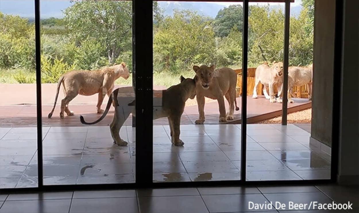 ドアを開けたらベランダでライオンたちが涼んでいた
