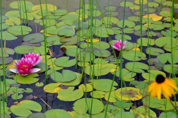 water-lilies-2775974__480_e