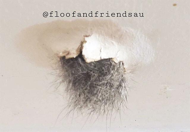 天井穴からモフ毛を出すポッサム