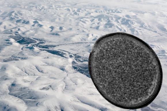 シベリアの永久凍土で発見された3万年前の巨大ウイルスを蘇生させる研究を開始(フランス)