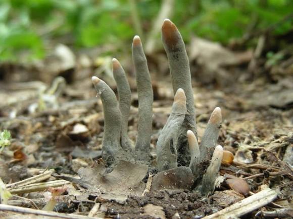 これはホラーです。「死者の指」と呼ばれるキノコが本気で死者の指っぽかった件に関して