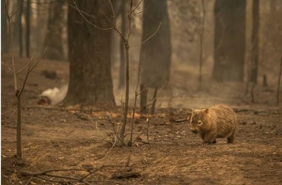 オーストラリアのウォンバット、過去の山火事で行き場をなくした動物たちに巣穴を貸してあげていた!?