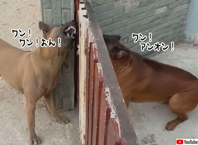 フェンス越しの2匹の犬の面白対決