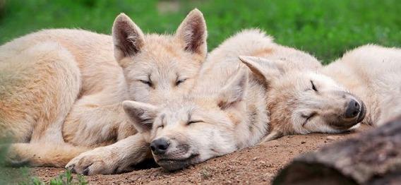 wolf_18