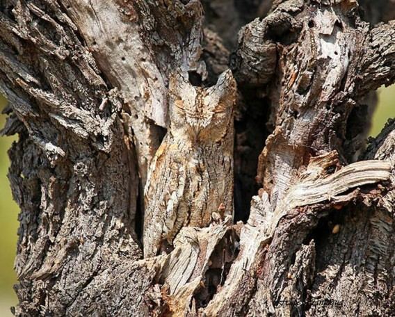 camouflaged_owls_02_e