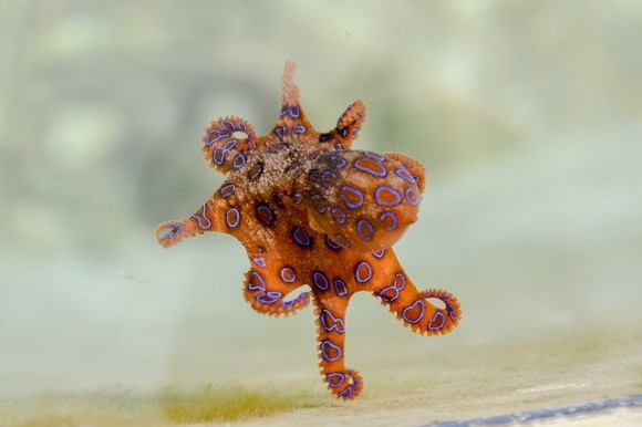 blue-ringed-octopus-2414408_640_e