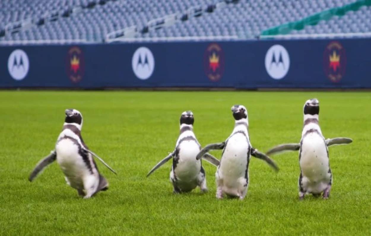 ペンギンの遠足コースはフットボールスタジアム