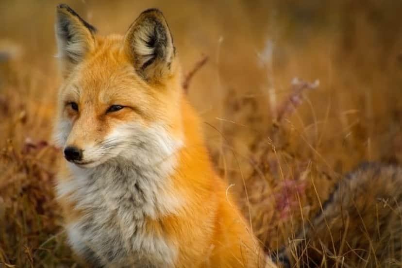 fox-1883658_640_e