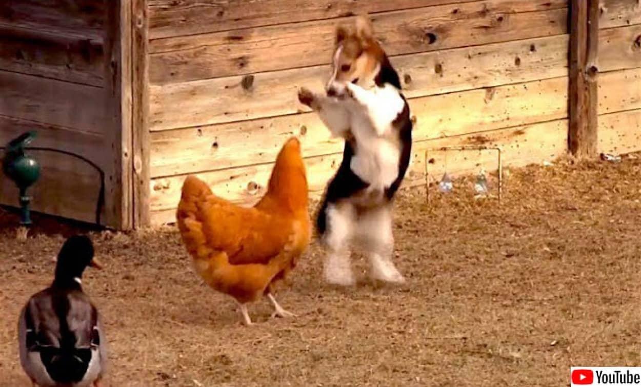 ニワトリとコーギーとマガモの仲良く喧嘩