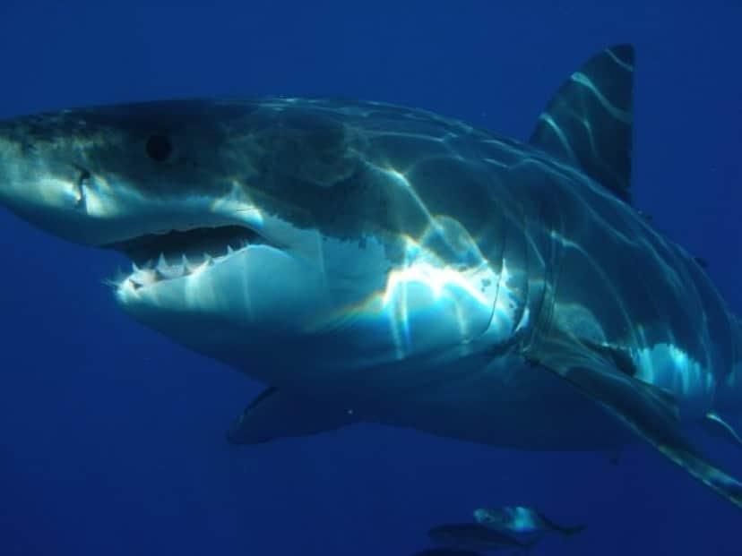 shark_e