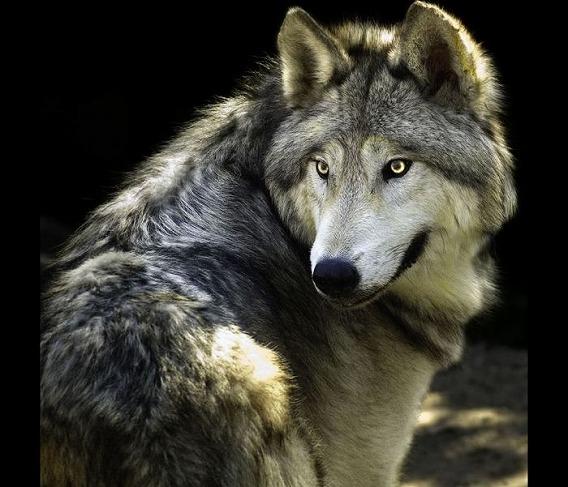 目が光る狼の画像