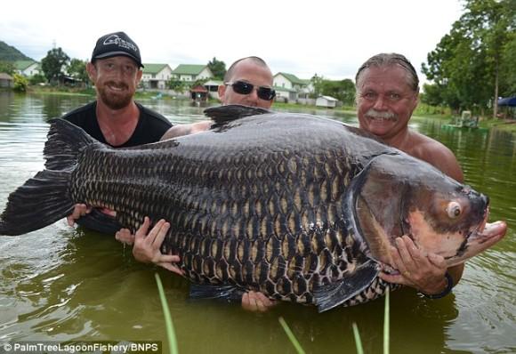 コイキングXLサイズキター!タイで世界最大となる巨大なコイが釣り上げられる。100kg越え