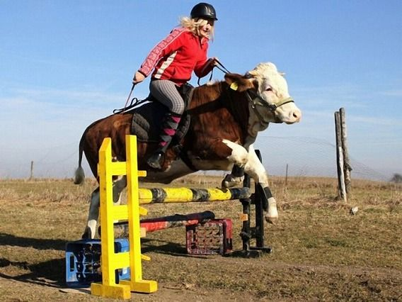 amazing_show_jumper_cow_10