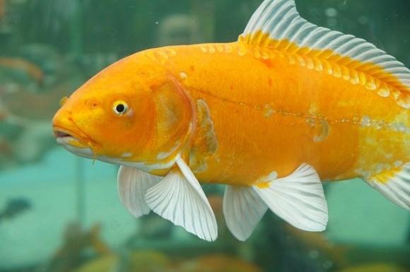goldfish-573684_640_e