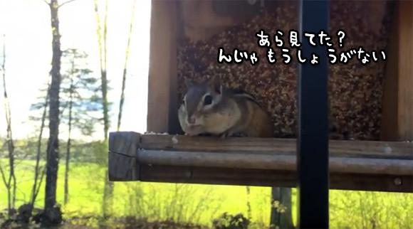 鳥箱の餌を盗み食いしていたシマリス。それがば