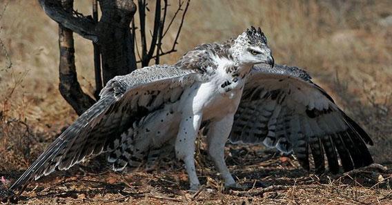 猛禽伝説。自然界のスーパーハン...
