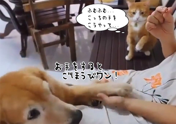学習に余念のない猫。犬がお手をしておやつをもらっている様子をシミュレーション、からの~ 大変良くできました!
