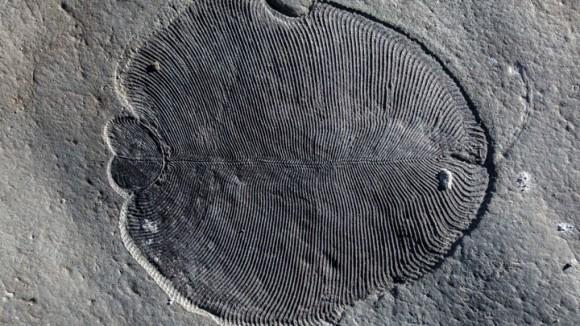 「ディッキンソニア」は地球最古の動物だった!5億5,800万年前の化石でその正体が明らかに(オーストラリア研究)