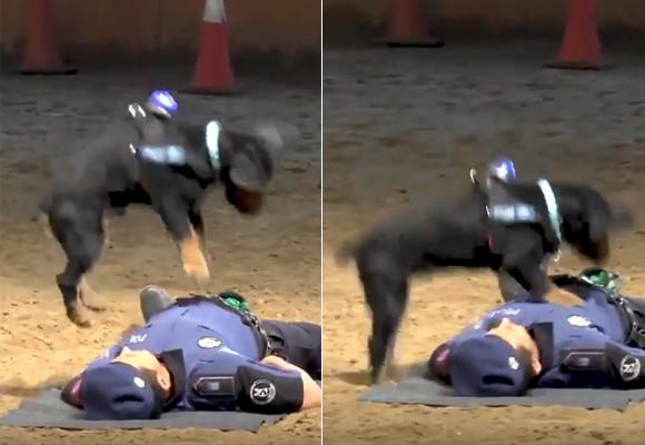 すごいぞポンチョ!心肺蘇生法で警官の命を救う警察犬(スペイン)