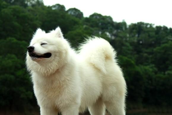 もふもふが自慢のサモエド犬、トリマーに刈られすぎて別犬に。飼い主にも気付かれず(アメリカ)