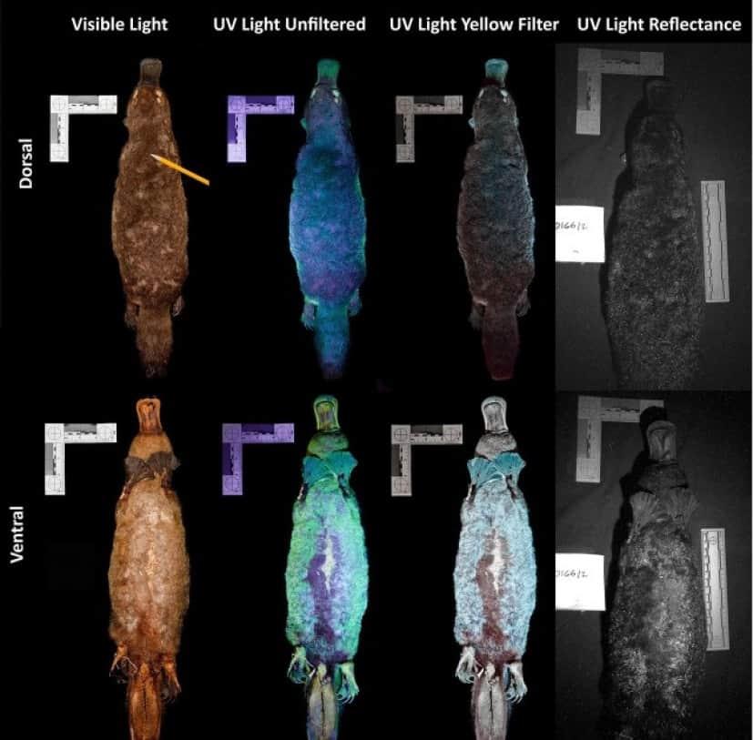 カモノハシの生物発光