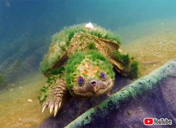 カメも長いこと生きてるといろんなもの背負ってんだなー。かなり長寿と推測される藻に覆われたカミツキガメ(アメリカ)