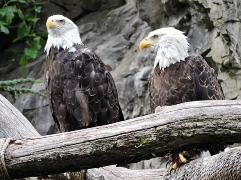 eagles-1206429_640_e