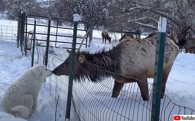 雪上のファンタジー。野生のアカシカがグレートピレニーズとはじめましてのチュウ