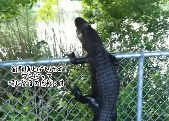 ワニにフェンスは通用しない。フェンスによじ登り柵越えする忍者ワニ