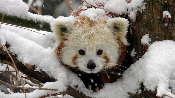 反則すぎる。レッサーパンダが雪で遊ぶ姿のかわいさよ。(画像+動画)