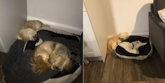 ずっと仲良しだった友が亡くなって1年経った今でも、相棒の為にベッドをあけて眠る犬(イギリス)
