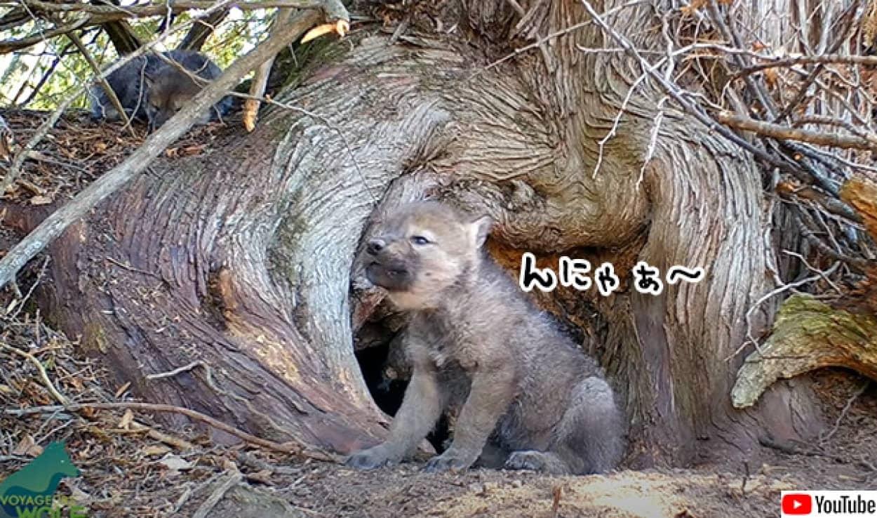 狼の赤ちゃんの初めての遠吠えがかわいすぎた