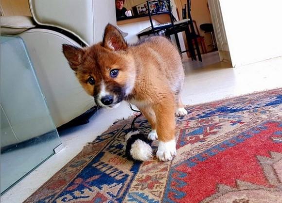 犬?キツネ?いいえ、ディンゴです。民家の裏庭に絶滅危惧種の子ディンゴがひょっこりあらわれる(オーストラリア)
