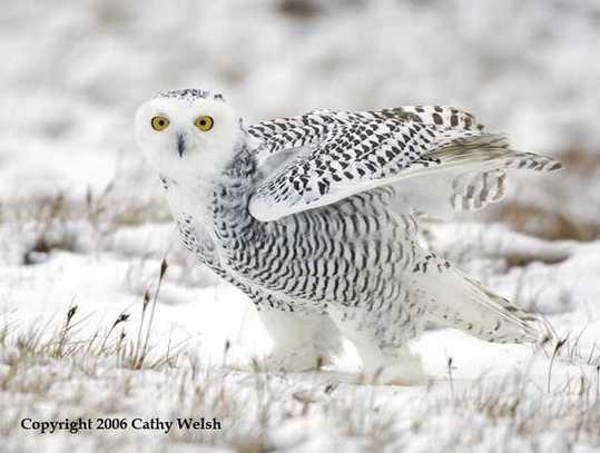 Snowy-Owl-12