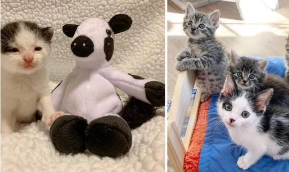 牛のぬいぐるみが唯一の親友だった保護子猫に、本物の猫の友達ができた!(アメリカ)