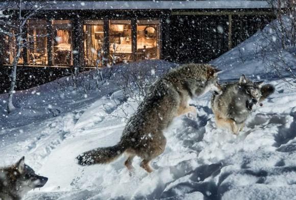 オオカミと触れ合いたい?ノルウェーのウルフロッジは、オオカミとの超絶接近が楽しめる!