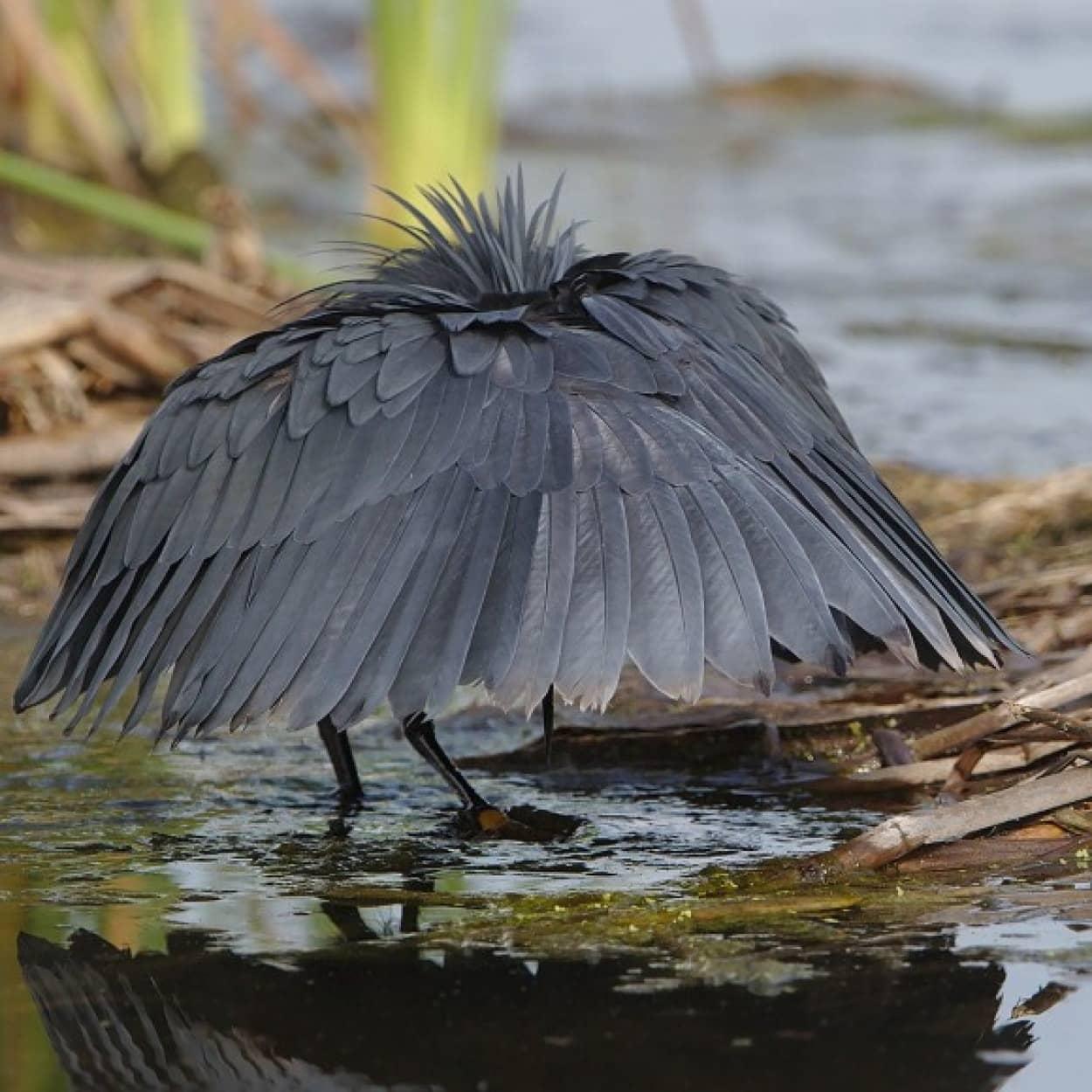 傘に変装して獲物を捕らえる「クロコサギ」