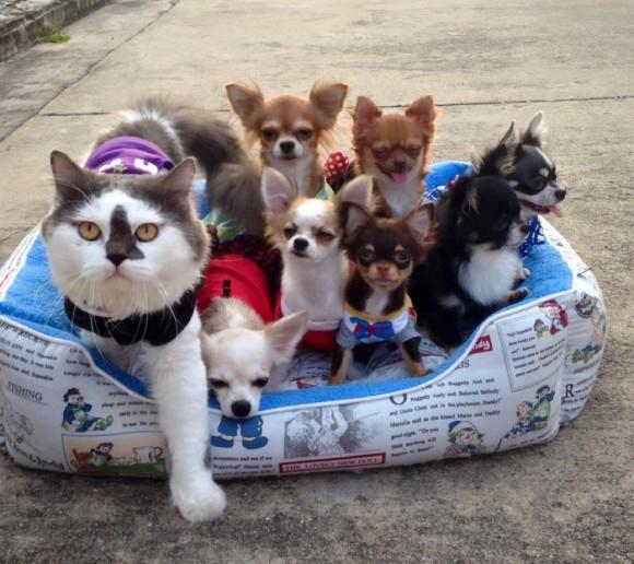 7匹のチワワを子分に従える猫の大親分(タイ)