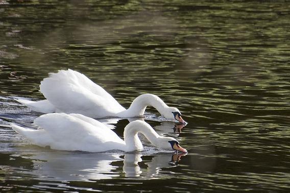 synchronized swimming animals 4