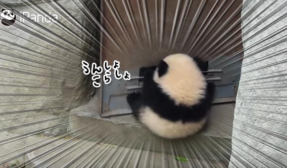 遊びたいさかりだから・・・ドアが開くのが楽しくてしかたがない子パンダの場合