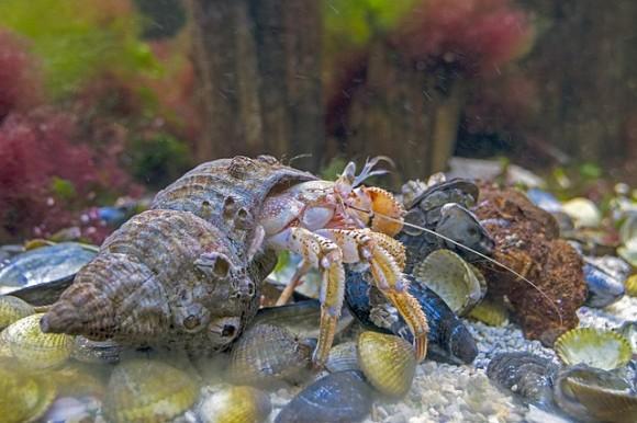 hermit-crab-2062460_640_e