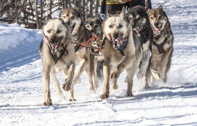 シベリアンハスキーの犬ぞり