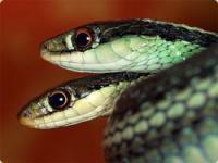 双頭 の ヘビ