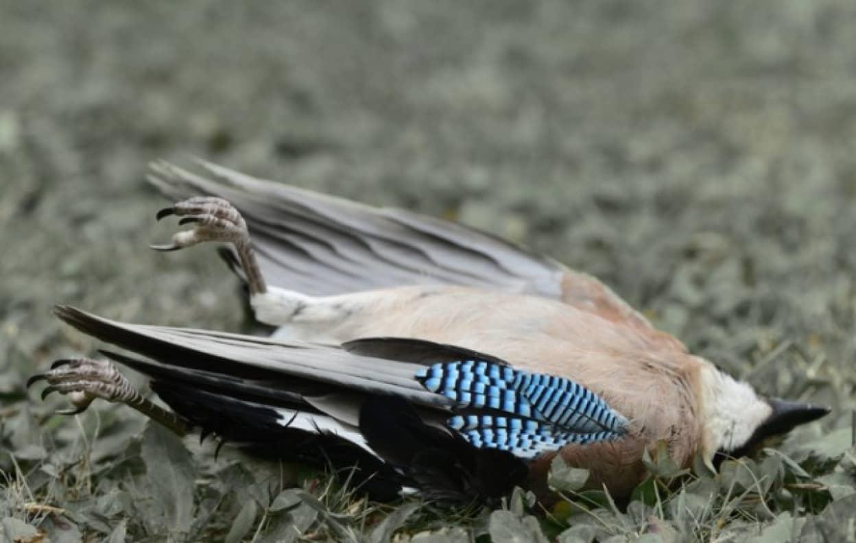 アメリカ各地で原因不明の病気による鳥の大量死が発生中