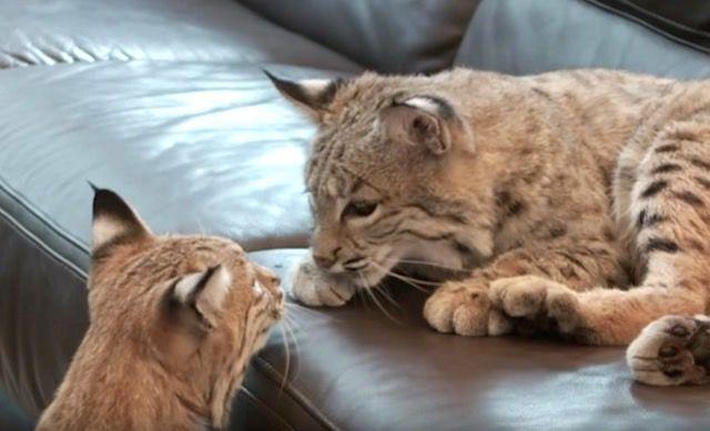 大きな猫と暮らしたい。2匹のボブキャットと暮らす毎日ってどんな感じ?