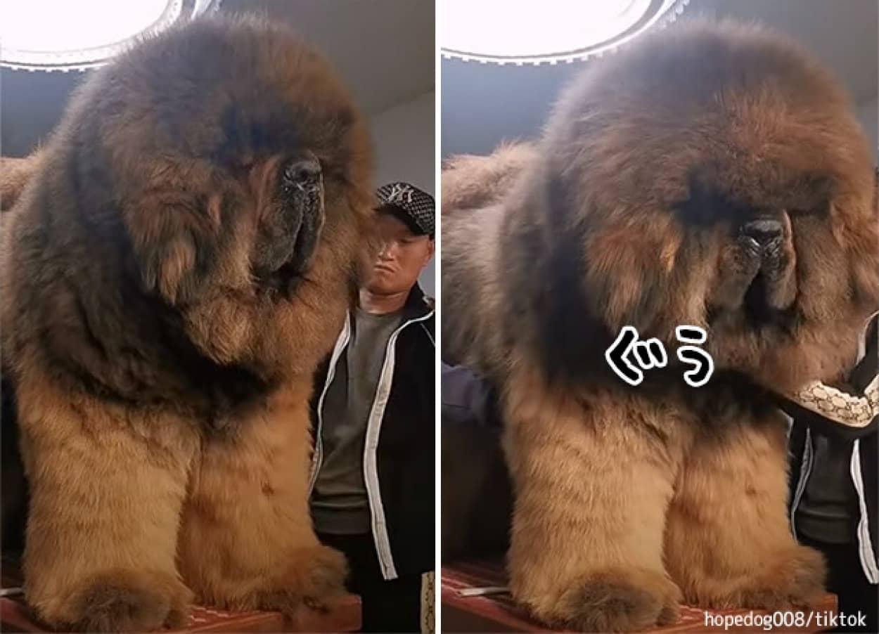 超大型犬のチベタン・マスティフは本当に大きかった