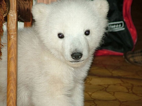 polarbearbabysaved-34
