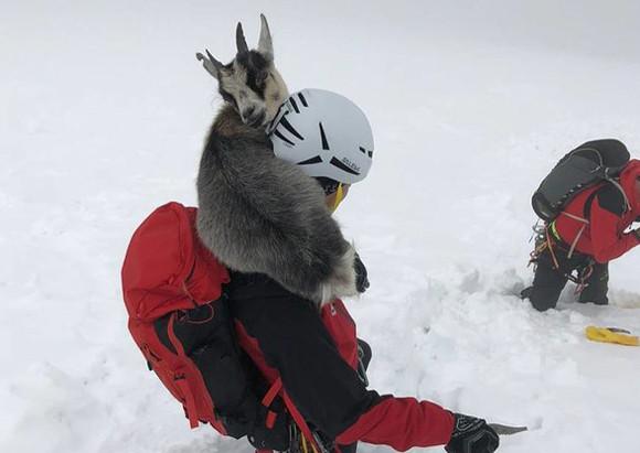登山者を見つけ一緒に山を登ったひとなつっこいヤギ。帰りたくなくて遭難するも無事救出される(オーストリア)