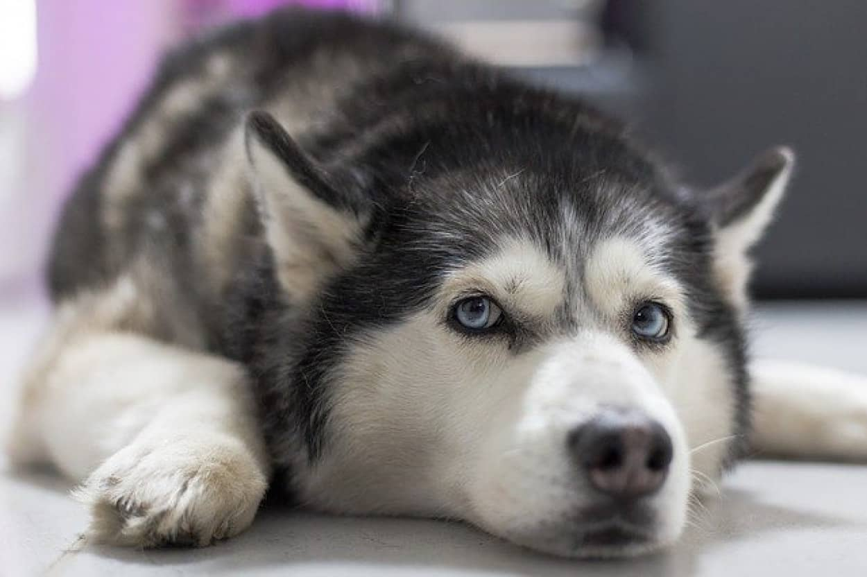 ハスキー犬、飼い主を3階のベランダに閉じ込めてしまうも、なんとか開錠に成功