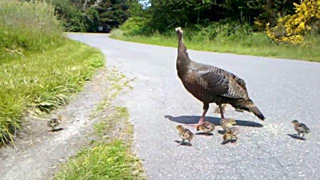 キケン!キケン!すぐに隠れて!七面鳥ママのアラートにみごとに従う雛鳥たち